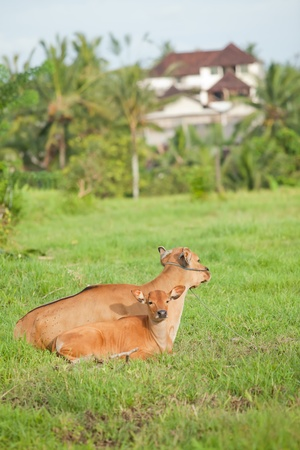Mother cow and calf in grazing field enjoying the calm life