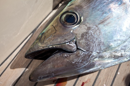 portrait of a bluefin tuna photo