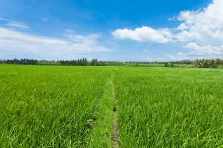 Rice paddy field in Bali in Indonesia photo