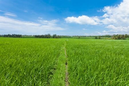 Rice paddy field in Bali in Indonesia