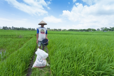 Rice farmer using nitrogen fertiliser on his field