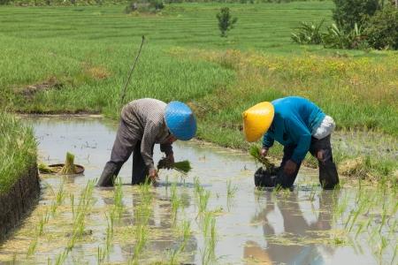 Reisbauern pflanzen Stengel Ernte in ihrem Reisfeld Lizenzfreie Bilder