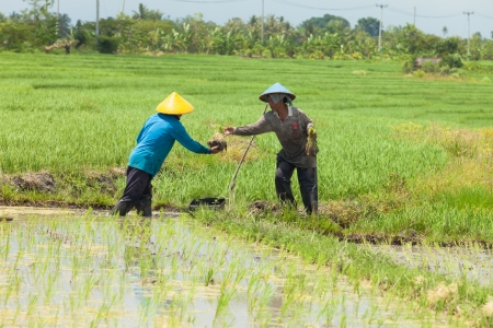 Rice farmers planting stalk crop in their paddy field