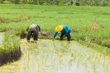 chinese hat: Rice farmers planting stalk crop in their paddy field