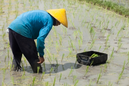 chinese hat: Rice farmer planting stalk crop in their paddy field