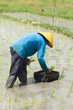 Rice farmer planting stalk crop in their paddy field photo