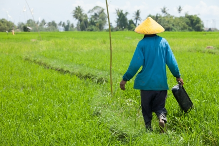 chinese hat: Farmer working with yellow hat in paddy fields