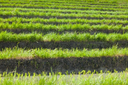 Terraced paddy fields in Bali in Indonesia Stock Photo - 14012312