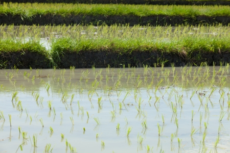 Terraced paddy fields in Bali in Indonesia Stock Photo - 14012254