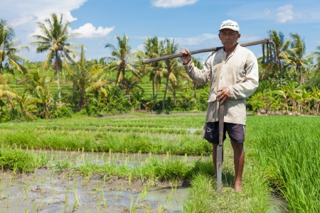 paddy fields: Farmer with wooden tool to prepare paddy field
