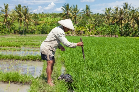 Farmer uses wooden tool to prepare paddy field