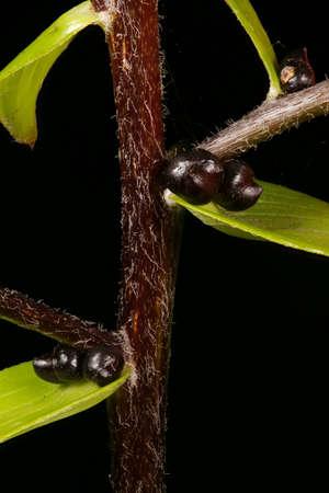 Tiger Lily (Lilium lancifolium). Stem and Leaves Closeup