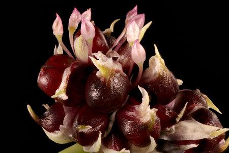 Garlic (Allium sativum). Inflorescence Closeup