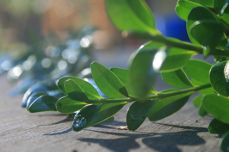 boxwood on table top in the sunlight Stock Photo