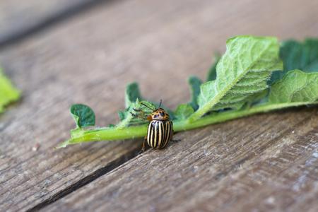 Colorado beetle on leaf macro Stock Photo