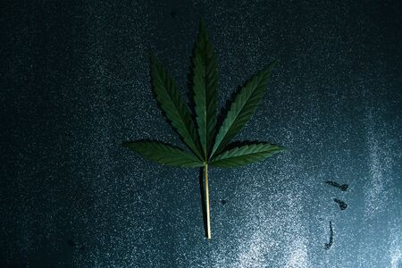 legalize: Leaves of cannabis on a black background concept