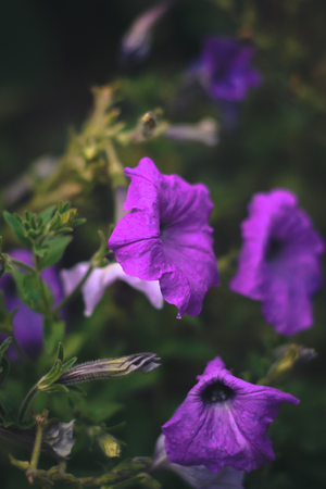 Summer flowers - petunias on a blurred background Stock Photo