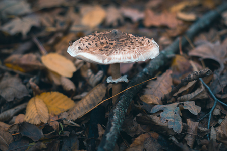 Mushrooms in an autumn forest in nature with a blurred background