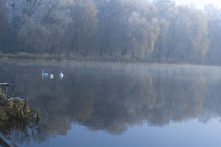 Swans on the pond on a frosty winter morning Stock Photo