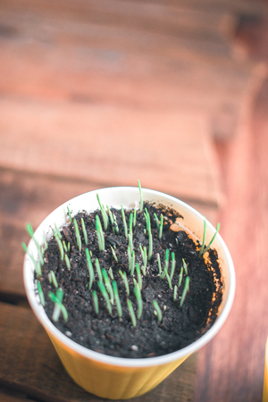 Young shoots in a pot on a wooden background