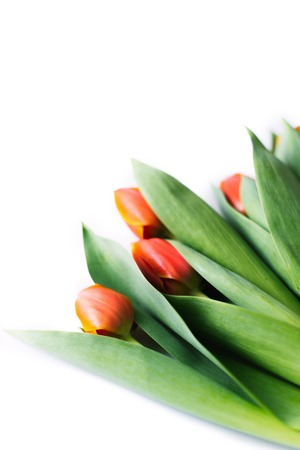 Blossoming tulips on a white background. Isolate, the concept of spring. Stock Photo