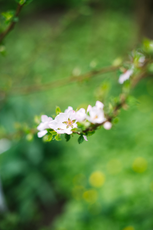 Blossoming branch with blurred background. Spring concept.
