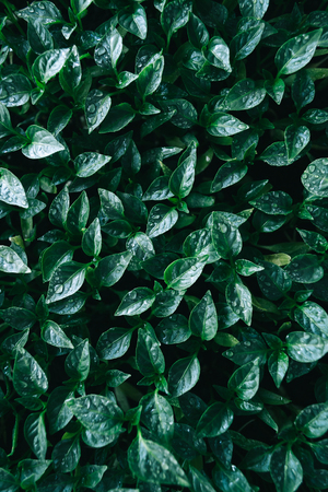 Green leaves on young pepper. Green background.