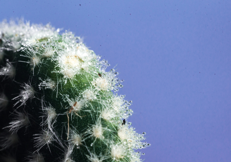 Cactus on blue with blurred background macro.