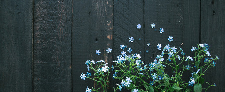 Flowering blue flowers on a wooden black background.