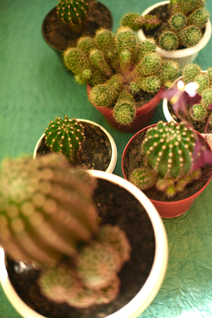 Cacti in pots on a green background.