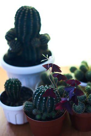 Cacti in pots on a wooden table. Stock Photo