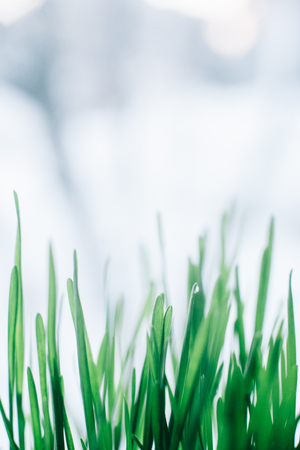 Green grass close-up on the window with blurred background.. Stock Photo