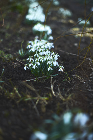 Flowering snowdrops on a spring day in nature.