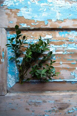 The branches of cypress on blue old wooden background.