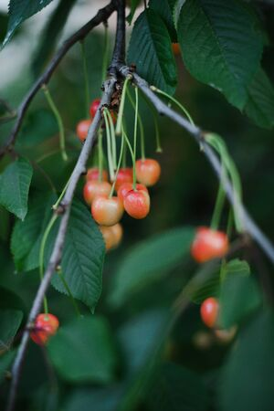 Cherry ripe in the country on a branch with a blurred green background.
