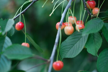 Cherry ripe in the country on a branch with a blurred green background. Archivio Fotografico - 148398783