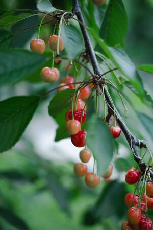 Cherry ripe in the country on a branch with a blurred green background. Archivio Fotografico - 149044207