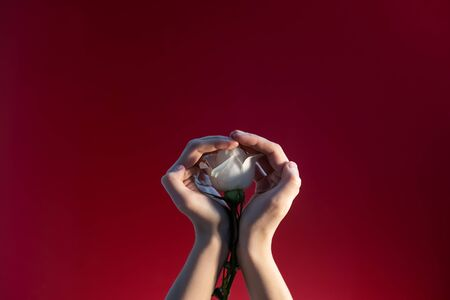 Womans hands with a rose on a red background.