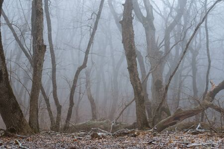 Cold fog in the forest, a mystical path stretching into the distance. Bare trees stands, silence. Landscape as background.