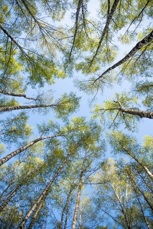 Bottom view of a trees in spring sunny forest. Crowns of birches with bright young foliage. Against the background of blue clear sky.