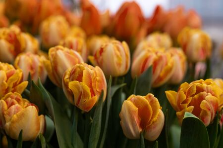 Beautiful orange tulips glowing in the grass. Bright flower postcard or background.
