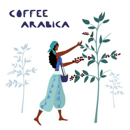 Woman unidentified coffee farmer is harvesting coffee berries in the coffee farm Illustration