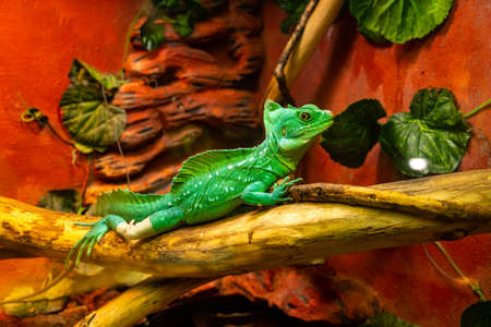 Green Chameleon disguises itself among the leaves of trees in the rainforest. Green chameleon merges with the environment