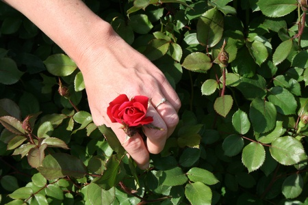 Engagement Ring, Wedding Ring on Red Rose Horizontal View Stock Photo - 13592333