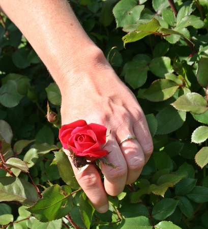 Engagement Ring, Wedding Ring on Red Rose Vertical View photo