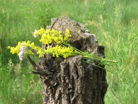 Little bunch of yellow blossoming grass flowers on the old cut tree Stock Photo