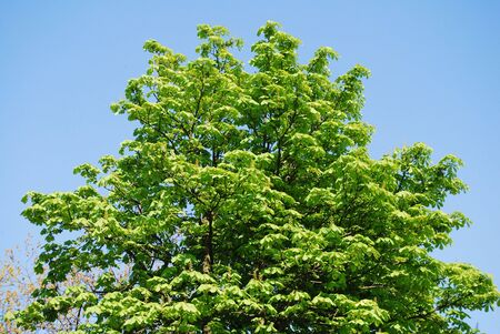 pompous: Rich green pompous tree being awoke in spring on the bacjground of blue clear sky Stock Photo