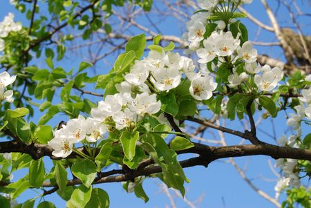 Blossom white flowers on the tree in spring stock photo picture and blossom white flowers on the tree in spring stock photo 2939542 mightylinksfo