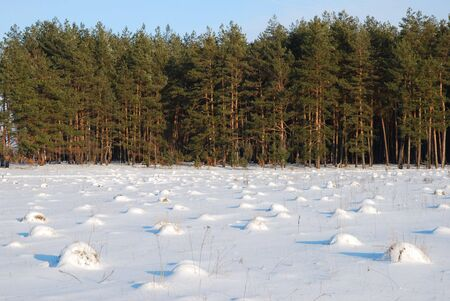heap snow:  many anthills in front of a pine forest line covered with snow in winter Stock Photo