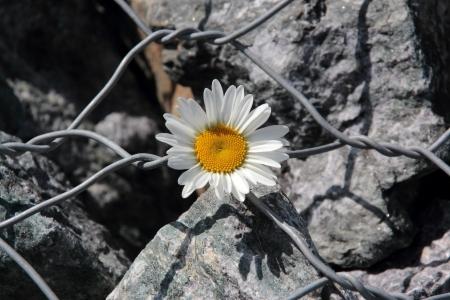 flower on barbed wire in war zone